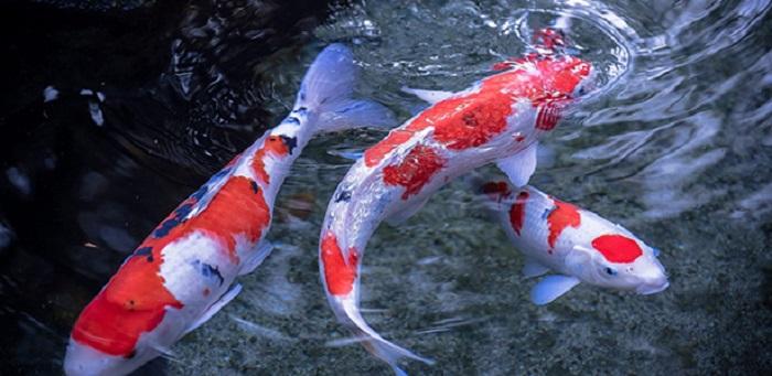 Phân biệt cá koi Nhật Bản và cá koi từ những nơi khác