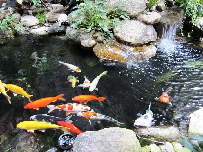 Đa dạng đơn vị bán cá koi Nhật Bản trên thị trường