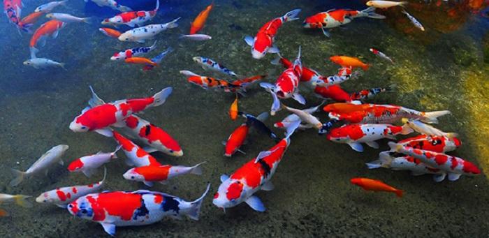 Đôi nét về cá koi Nhật Bản
